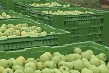 Berba jabuke u punom jeku