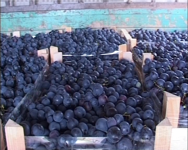 Umanjen prinos i odličan kvalitet grožđa ove godine