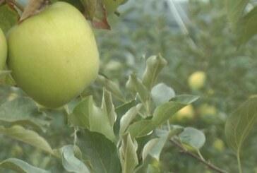 Rod jabuke u Rasinskom okrugu prosečan