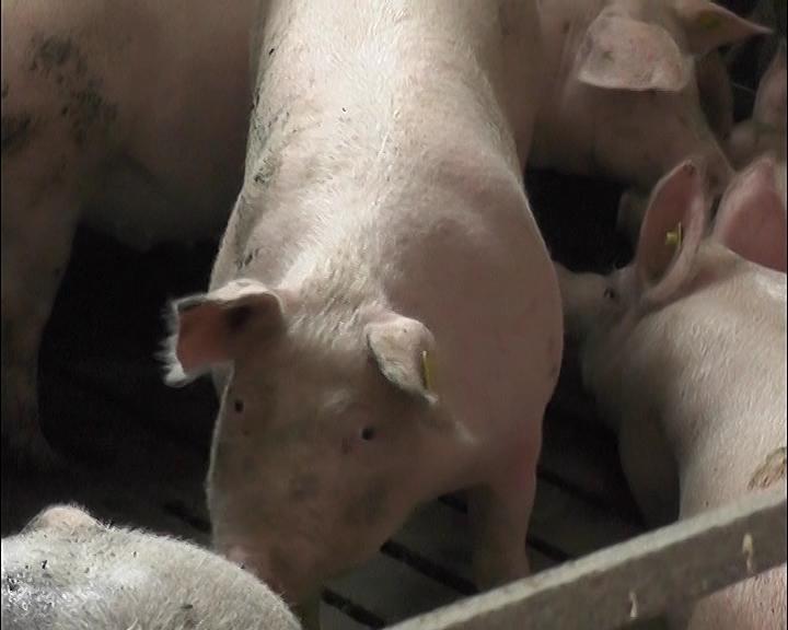 Uzgoj svinja u Rasinskom okrugu skoro zamro