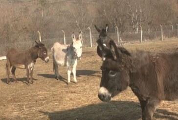 Ponovo na farmi magaraca vlasnika Vladimira Gajića u selu Trmčare