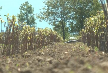 Nikola Ivković iz Konjuha proizvodi voćne sadnice na površini od oko 70 hektara