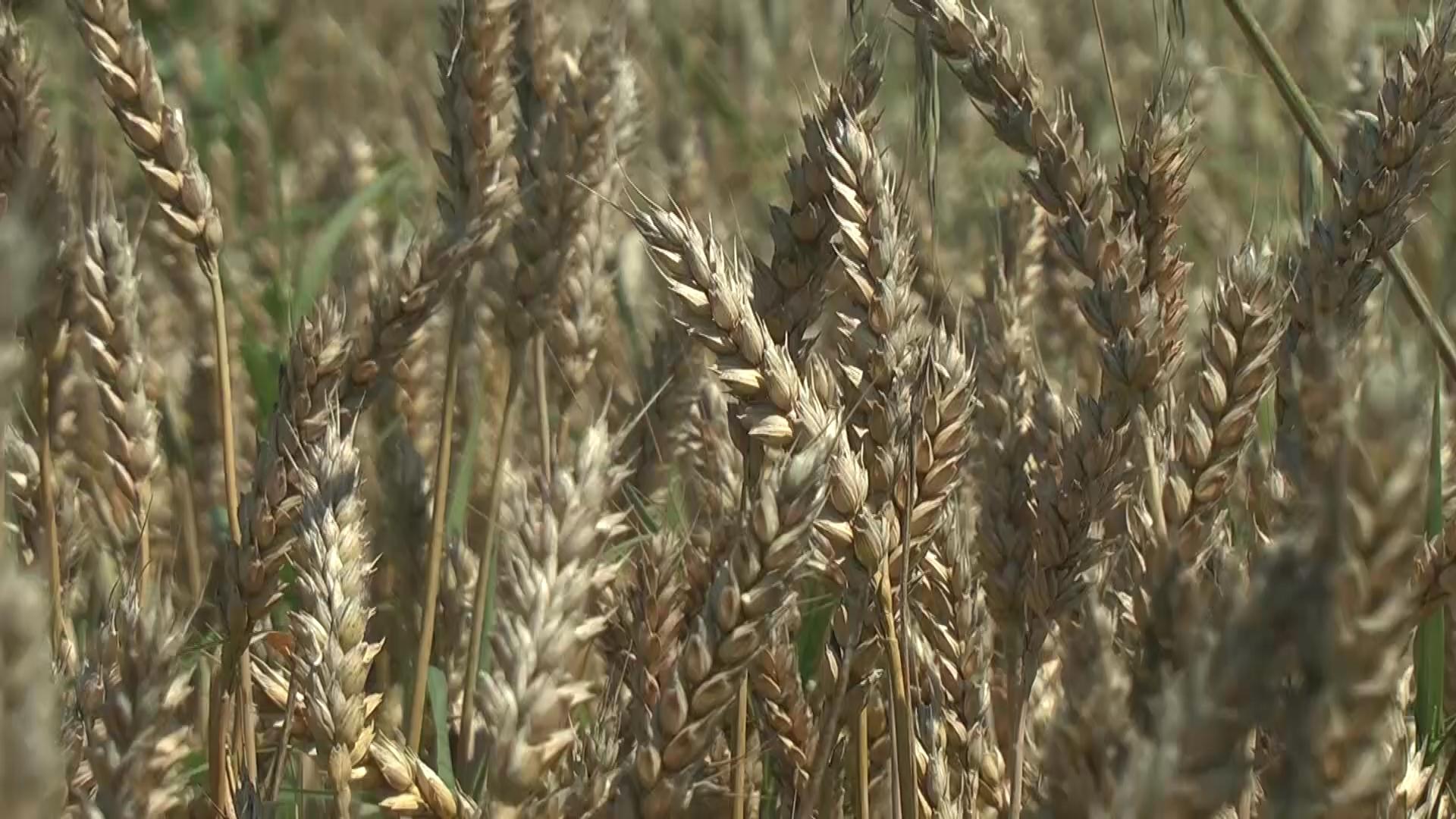Dani polja strnih žita, pšenice, tritikala i ječma na oglednoj parceli Radivoja Jeremića u Djunisu