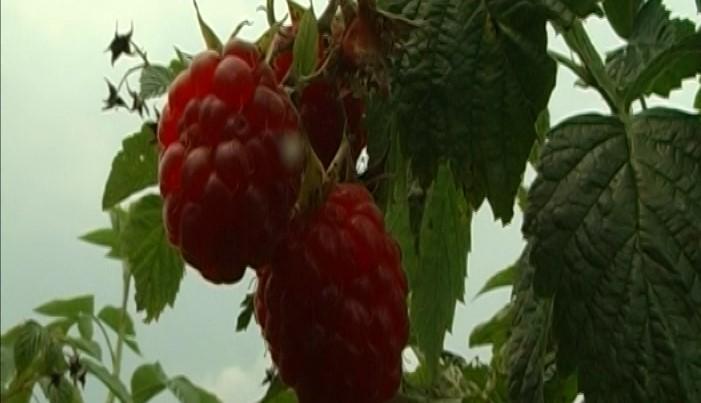 Obilne kiše praćene gradom i poplave nisu previše uticale na voćne kulture