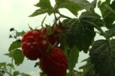 Toplo vreme i visoka vlažnost odgovaraju biljkama i one dobro napreduju