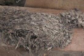 Svake godine u domaćinstvu Radenkovića u Makrešanu laste naprave novo gnezdo