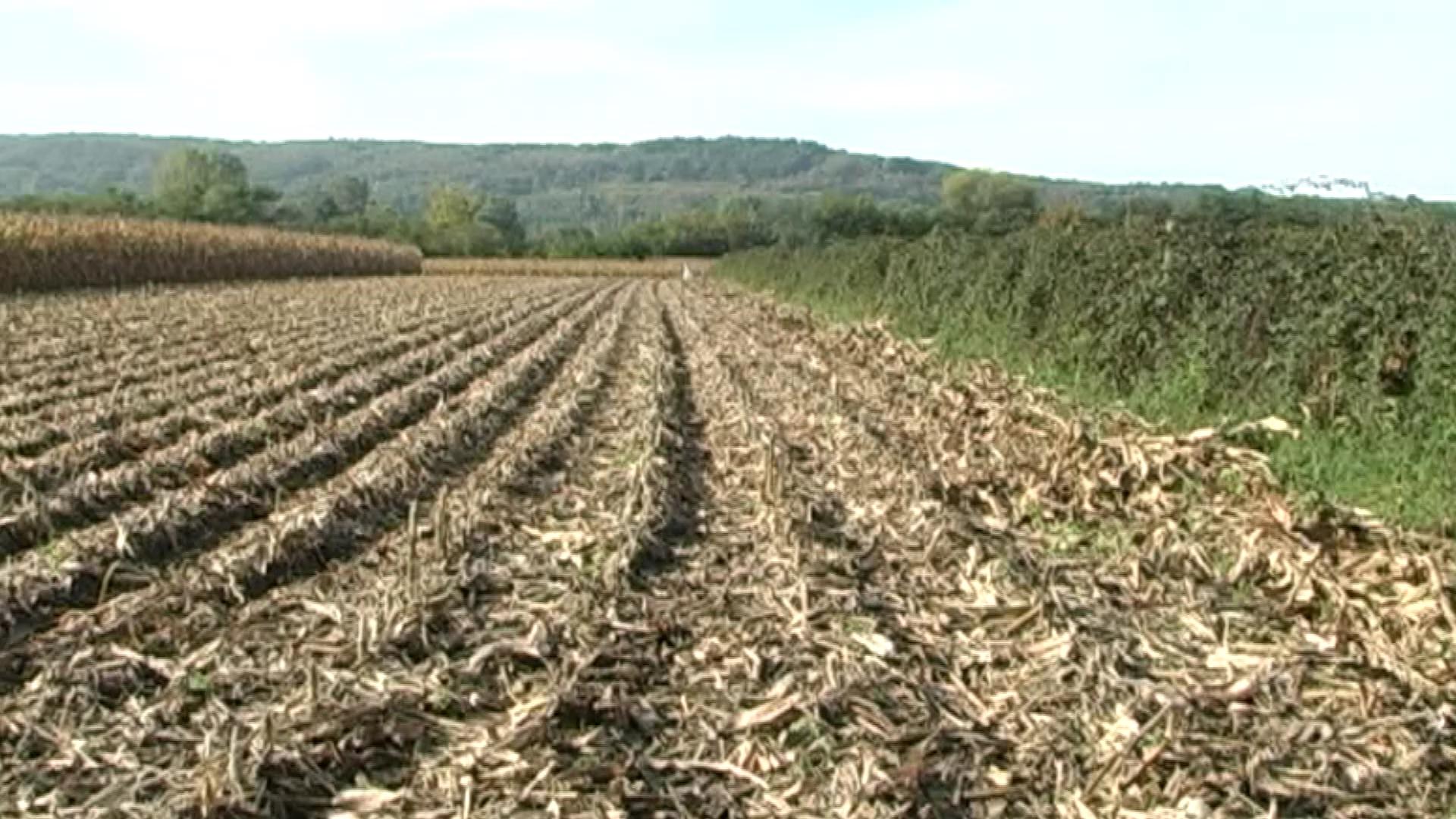 Dani polja kukuruza ove godine u Marenovu