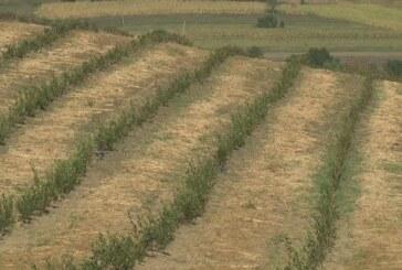 Na imanju Dragoslava Mlanovića u Padežu raste borovnica