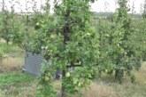 Celokupan rod kruške citronke za rusko tržište