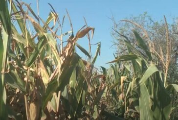 Već sada se može krenuti sa priprema za skladištenje kukuruza