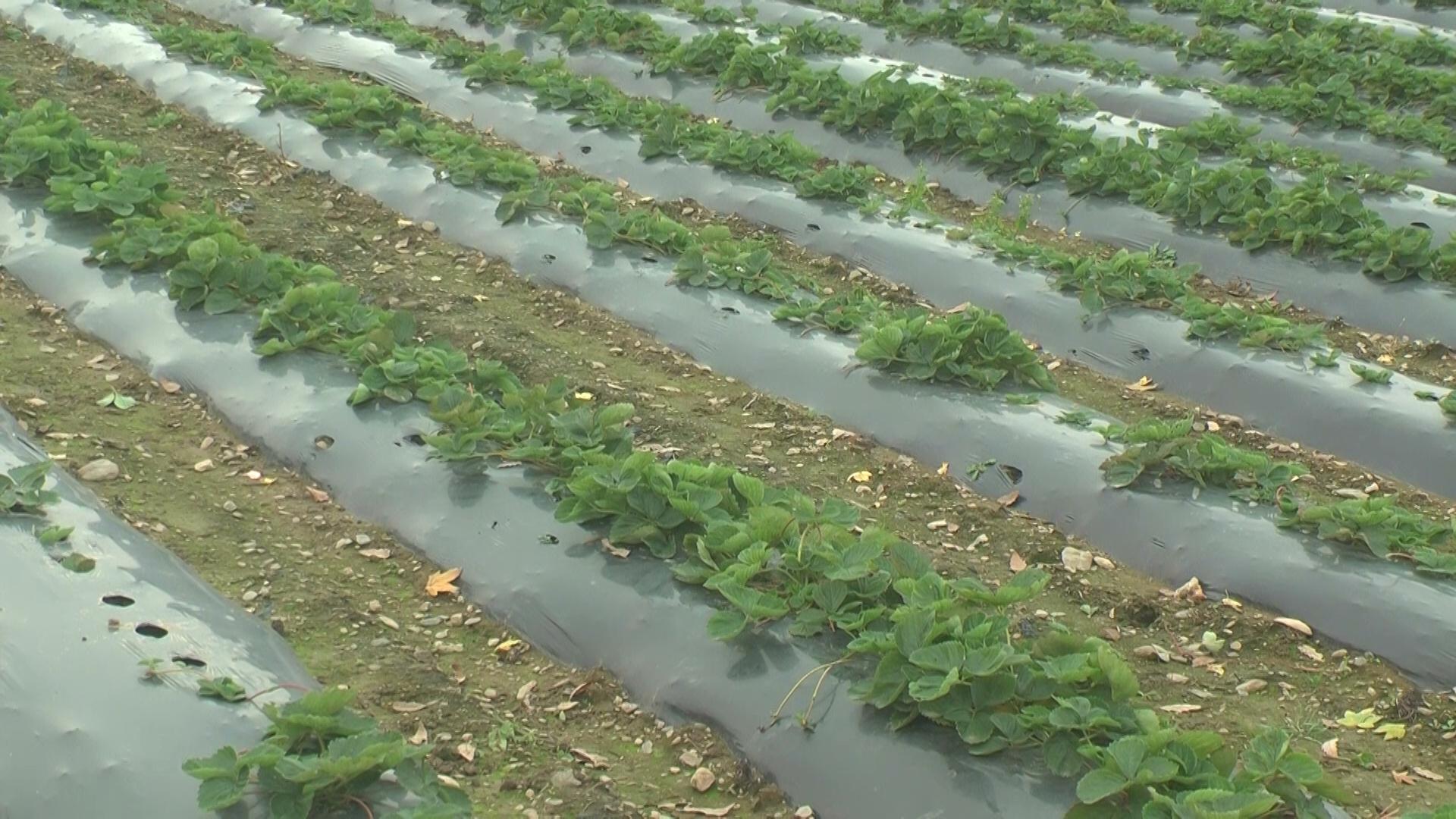 Proizvodnja jagoda na poljoprivrednom gazdinstvu Dejana Jevgenijevića u Belasici