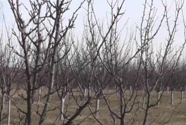 Preporuka stručnjaka – tretman breskve i nektarine protiv kovrdžavosti lista