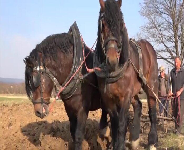 Konji iz Poljske u domaćinstvu u Gornjoj Omašnici – za štraparijadu i divljenje