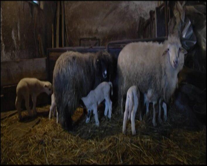U Mjijajlovcu kod Trstenika ovca ojagnjila četiri jagnjeta
