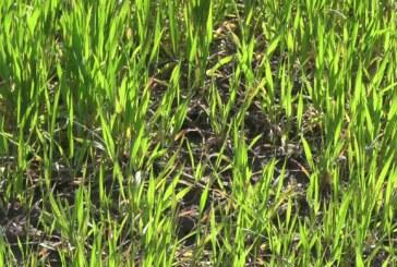 Pšenica na parcelama u Rasinskom okrugu