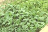 Oscilacije vremenskih prilika odlažu sadnju paprike na otvorenom