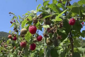 U toku berba malina, proizvođači iz sela Planinica kod Trstenika očekuju solidan rod