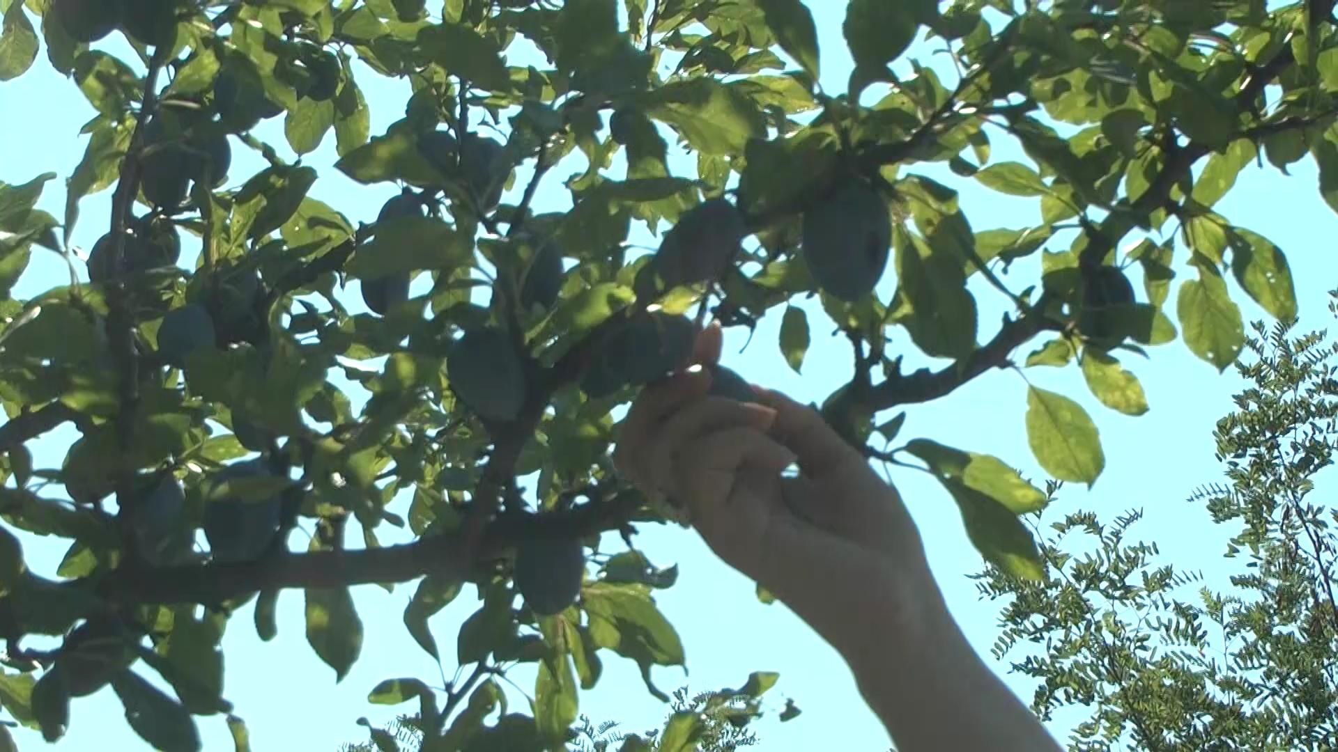 Visoke temperature bez padavina – loše utiču na voćne kuilture