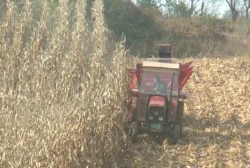 Sa parcela na teritoriji Rasinskog okruga do sada ubrano oko 40 odsto roda kukuruza